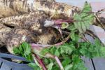 pastinaak, vers uit de tuin