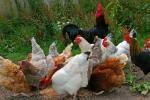 Bloedluis bij kippen