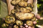 geschiedenis aardappelen