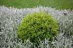 buxus is waardevolle plant