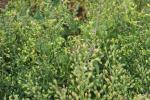 Huttentut op het veld
