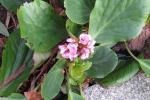 schoenlappersplant in bloei