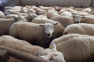 Vorming schapenhouders Boerenbond en Landelijke Gilden 2018-2019
