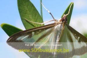 SOS buxusmot