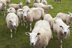 schapenreis