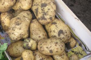 aardappel en nevenstroom