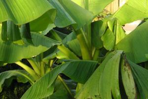 bananenplant afdekken