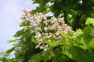 catalpa als klimaatboom