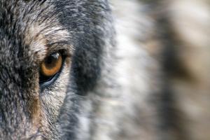 Enquête over de aanwezigheid van de wolven
