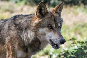 Subsidie wolfwerende maatregelen hobbyschapenhouders